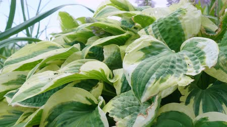 lilyum : Hosta plants are eaten by garden pests - slugs. Affected leaves with dried edges. Stok Video