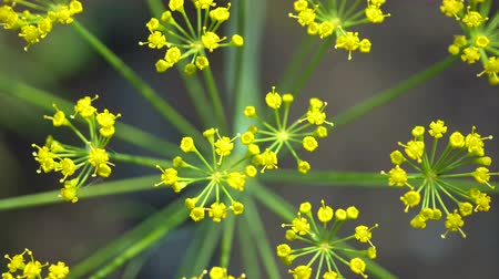 fennel : Close-up of dill inflorescence. Small yellow flowers of dill plant growing on a garden bed. View from above.