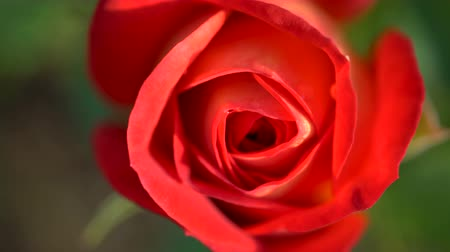 bud rose : Close-up of a red rose growing in the garden. View from above. Stock Footage