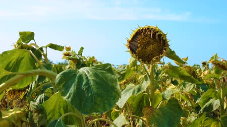 stalk : Sunflower field affected by drought against the blue sky.