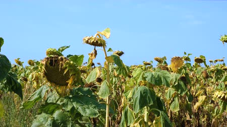 az érintett : Sunflower field affected by drought against the blue sky.