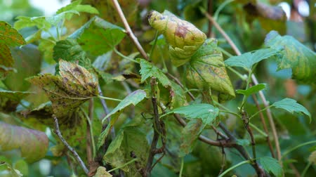 pinus : Black currant (Ribes nigrum) affected by the disease in the autumn period. Rust fungus on currant leaves. Stock Footage