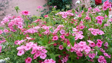 dissolução : Fertilizer of annual phlox flowers on the garden bed. Soluble fertilizers are dissolved in water and applied as a solution. Stock Footage