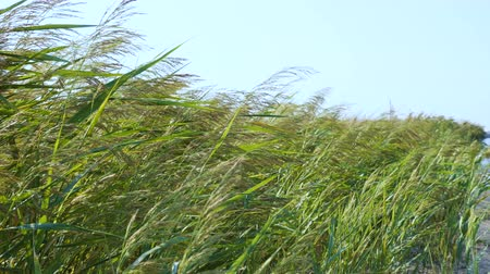 тростник : Thickets of reeds along the sea coast. Spikelets sway in the wind. Стоковые видеозаписи