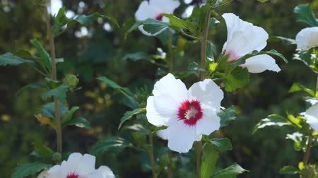 otsu : White hibiscus flowers with a red center on the flower bed in the garden. Stok Video