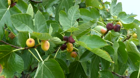 yağmur yağıyor : Ripening fruits of figs on the Ficus carica tree. Rainy weather.