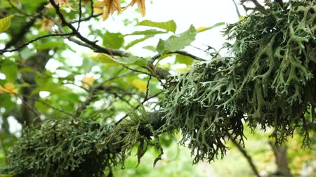 liken : Dense green lichen (Evernia prunastri) on an oak tree branch in an autumnal mountain forest. Stok Video