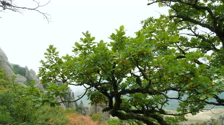 liken : Oak tree covered with lichen high in the mountains.