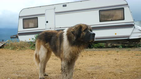 caravan : A dirty stray dog of the St. Bernard breed stands next to a caravan.