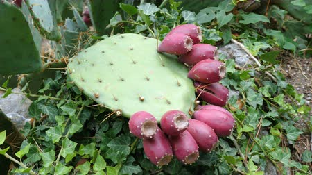 dyes : Crop of the edible fruits of the prickly pear cactus (opuntia). This cactus is grown to produce carmine dye and as feed for livestock. Stock Footage