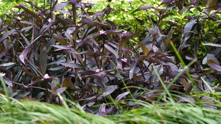 wandering : Thickets of Tradescantia pallida on the flower garden. Stock Footage