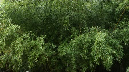 чаща : Bushy thickets of bamboo in a wild nature park.