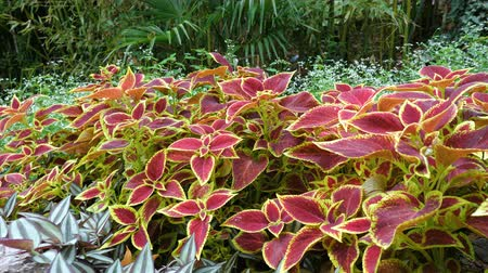 variegado : Bright decorative leaves of a Coleus blumei (Plectranthus scutellarioides) plant in a flower bed in the garden.