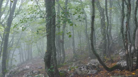 homály : Gloomy misty mountain forest covered with moss and lichen.