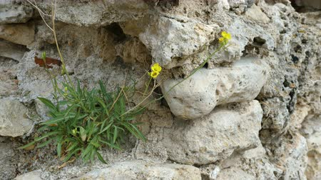 taş işçiliği : The plant Erysimum pusillum hayekii grows on an old stone wall. Stok Video