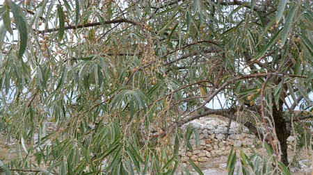 kamenné zdivo : The tree of Elaeagnus angustifolia (Russian olive) growing on the ruins of an ancient city near the sea.