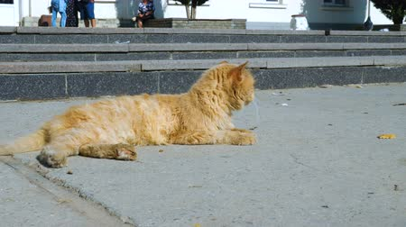 vándorlás : The red stray cat lies next to the walking area in the city s seaport. Stock mozgókép
