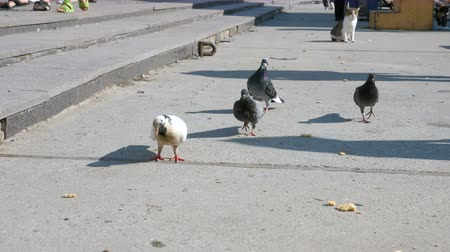 migalhas : A flock of pigeons eat bread on the embankment of the city next to the walking area.