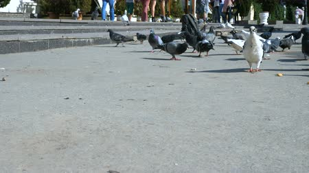 migalha : A flock of pigeons eat bread on the embankment of the city next to the walking area.