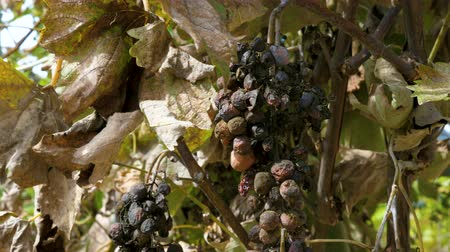 az érintett : Rotten moldy berries of grape affected by disease. Old dried vines and leaves.