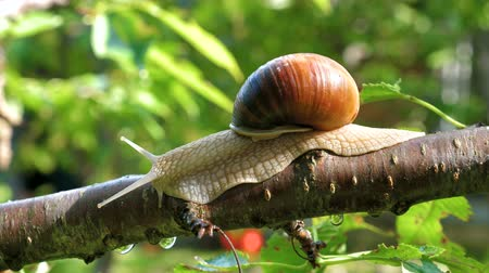 ulita : A large snail crawling on a branch of a fruit tree in the garden.