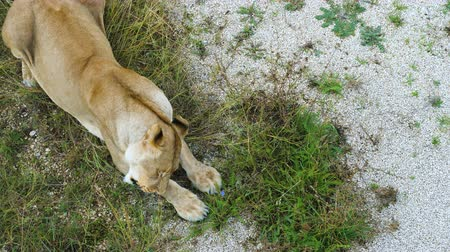 prairie : The lioness eats in the zoological park.