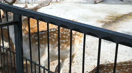 paroh : Zoo visitors feed spotted deers (Cervus nippon) with cabbage.