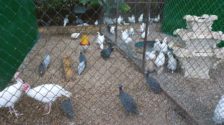 петух : Birds of different species (turkeys, chickens, guineafowl) on the farm.