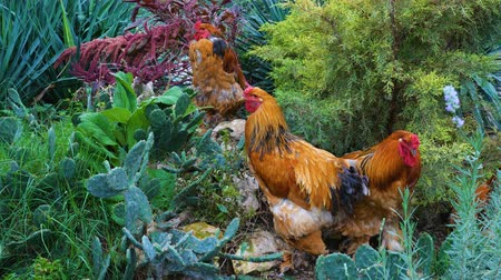 bantam : Red chickens meat breed Brahma in a natural park.
