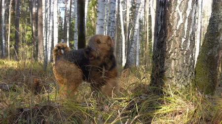 taranmamış : Dog breed Airedale Terrier walks in the autumn birch forest. Sunny clear weather.