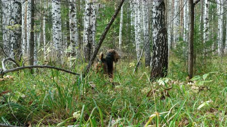 taranmamış : Dog breed Airedale Terrier walks in the autumn birch forest. Stok Video