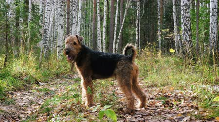 searches : Dog breed Airedale Terrier walks in the autumn birch forest. Stock Footage