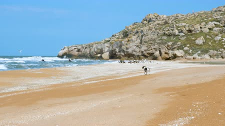 沿岸の : A small dog runs along a sandy wild beach and scares away birds. In the background is a blue clear sky and a rocky hill.