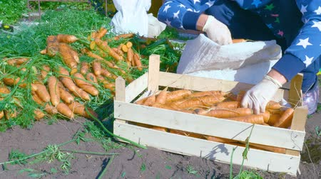gyárt : The grower sorts the freshly dug carrot crop. A woman farmer puts a fresh juicy carrot from a wooden box in a bag for transportation and storage. Stock mozgókép