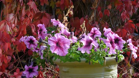 Виргиния : Potted petunias in the autumn garden amid faded Five-leaved ivy (Parthenocissus quinquefolia, Virginia creeper).