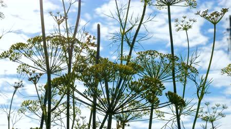 fennel : Close-up of dill inflorescence. Small yellow flowers of dill plant growing on a garden bed. In the background is a blue sky with clouds.