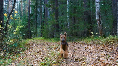 taranmamış : A dog breed Airedale Terrier runs along the path in the coniferous and birch forest. Autumn time. Stok Video