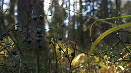 inculto : Dried blueberries in a sunny autumn forest. Close up. Vídeos