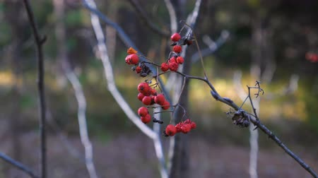 üvez ağacı : Dried red rowan berries on a thin branch in the autumn forest.