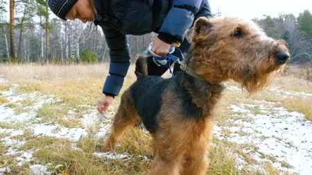 airedale : A young woman is combing a dog breed Airedale on the nature, before a walk in the woods.
