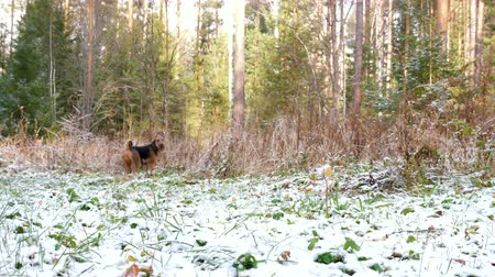 searches : The young cheerful dog of the Airedale Terrier breed runs through the autumn forest covered with a thin layer of snow. Stock Footage