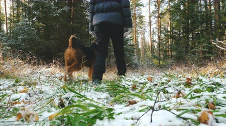 taranmamış : Young slim woman walks in the forest with a Airedale Terrier dog. The first snow in the autumn forest lies on the dry grass.