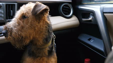 терьер : Dog breed Airedale terrier waiting for the owner in the front seat of the car. Стоковые видеозаписи