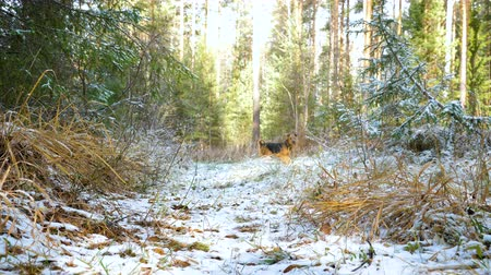 терьер : The young cheerful dog of the Airedale Terrier breed runs through the autumn forest covered with a thin layer of snow. Стоковые видеозаписи
