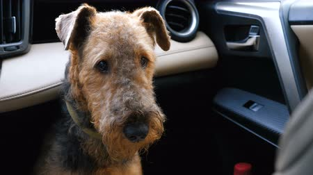 taranmamış : Dog breed Airedale terrier waiting for the owner in the front seat of the car. Stok Video