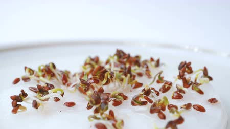 csészealj : Cress seed germination time lapse. Seeds lie in a saucer on wet cotton wool. Time lapse. Macro shot.