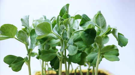 peas : Time lapse of pea seeds germination. Plant seedlings grow upwards. White background. Macro shot.