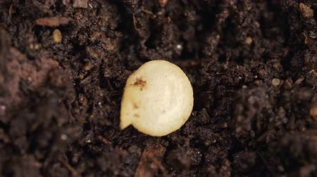 Planting bell pepper. Seed falls into the hole in moist soil. Close up. Macro shot.