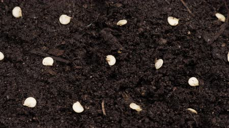 Seeds of bell pepper sown in the soil. Rotating video. Close up. Stock Footage