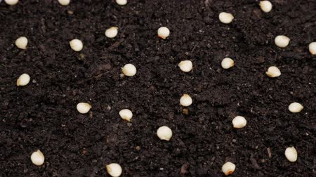 Seeds of bell pepper sown in the soil. Rotating video. Close up. Wideo